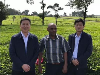 千赢国际官方网站黑茶走向世界之肯尼亚